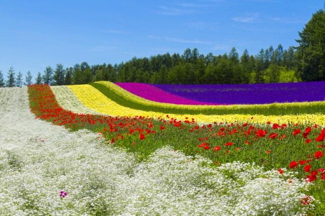 9. 들판 가득 아름다운 라벤더가 펼쳐진 [팜 도미타]