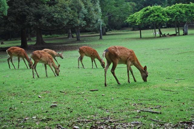 """5. 귀여운 사슴들과 만날수 있는 """"나라공원(奈良公園)"""""""