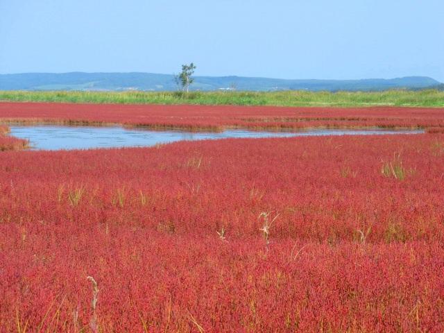 3. 온통 붉게 물든다! 산고초의 대군락「노토로 호수・산고초」