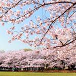 【봄의 교토 여행 / 벚꽃의 꽃놀이시기】 현지인이 추천하는 인기 하나미 스포트 BEST10!