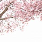 【봄의 오키나와 여행 / 벚꽃의 꽃놀이시기】 현지인이 추천하는 인기 하나미 스포트 BEST10!