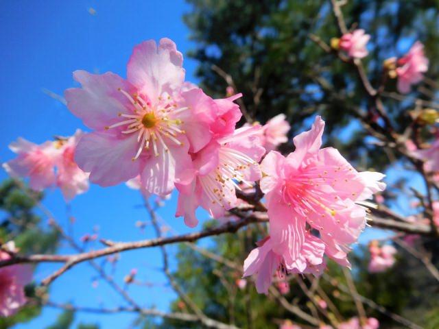 4. 오키나와 현에서 벚꽃 꽃구경을 즐긴다면 이곳! '야에 산'
