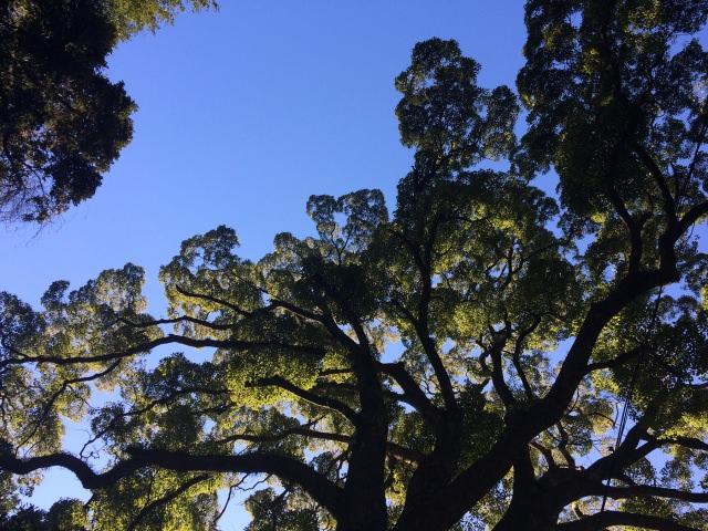 7. 소원을 이루어주는 오오쿠스(거대 녹나무)「키노미야신사」